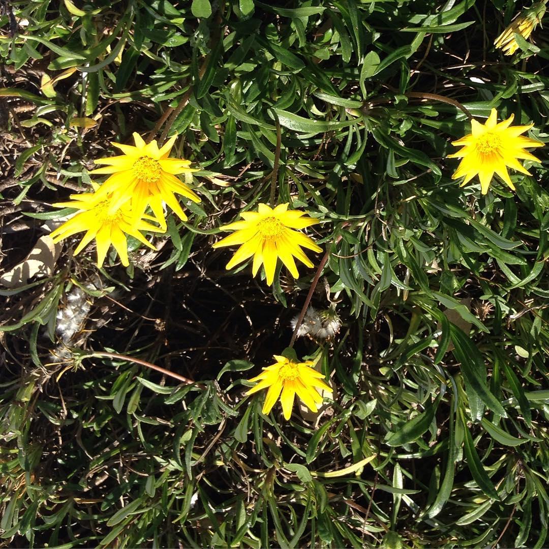 green blade grass daisies flower yellow happy petals ephemeral beautyhellip